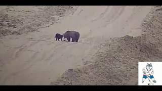 В ХМАО бездомный пёс подружился с медведем | Пёс и медведь играют в догонялки