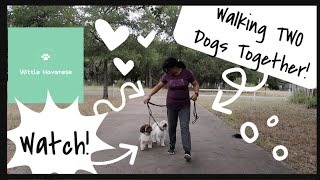 How To Walk Two Dogs Together For The First Time   Wittle Havanese