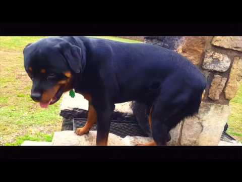 1-Year Old Rottweiler, Ira! Not Good with Duration nor Distractions! Rottweiler Trainers Virginia