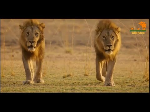Wild Fauna / Прайд Нсэфу / 1- Кровные узы / Africa's Hunters