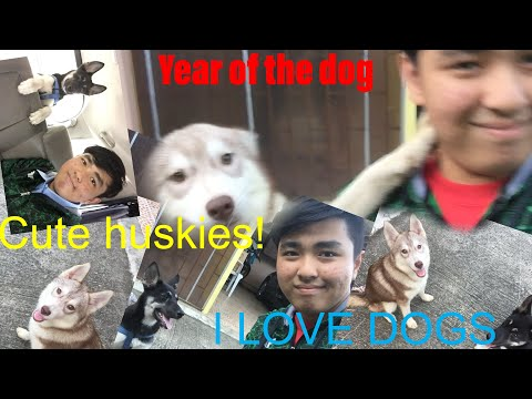 My Vlogs 2018:Cute Huskies!|Year of the dog|Fun Pets
