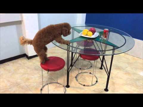 Smart Toy Poodle use tools like Chimps / 道具を使う我が家のトイプードル