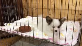 4月2日生まれ パピヨン 女の子 全国優良ブリーダーの子犬紹介サイト『み...
