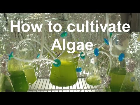 How to Grow Algae with high yield