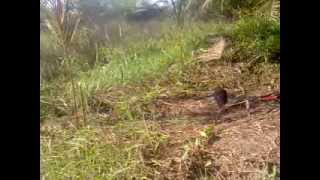 Mikat burung ruak ruak disawitan sukarame