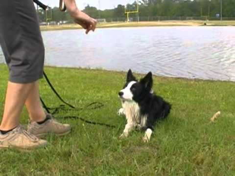 ADOPTED!  Tommy - Border Collie Rescue of Texas