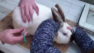 как сделать укол кролику подкожно