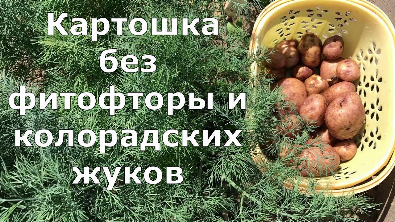 557. Картошка без фитофторы и колорадских жуков