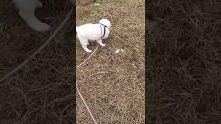 Голд ретривер на прогулке