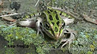 Leopard frog royalty free stock HD video