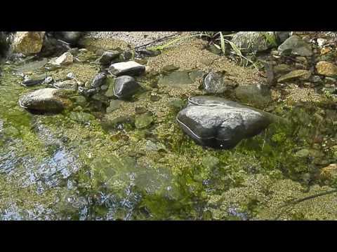 El so de l'aigua i el cant del rossinyol a la riera dels Molins (Calonge)