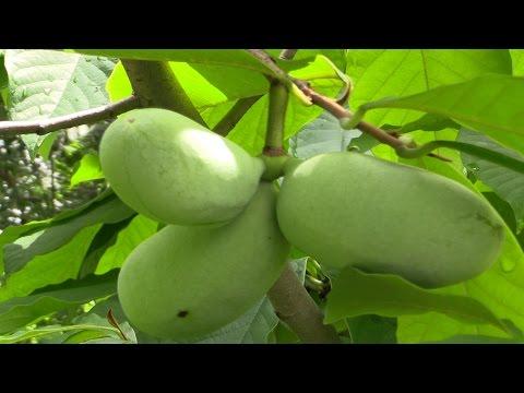 Paw Paw (Asimina triloba)-  The Largest American Fruit