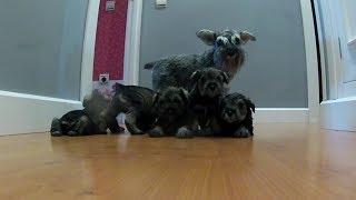 Cachorros Schnauzer miniatura desde su nacimiento hasta los 2 años