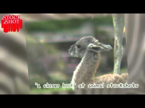 Animal Stockshots - Guanaco - Lama Guanicoe
