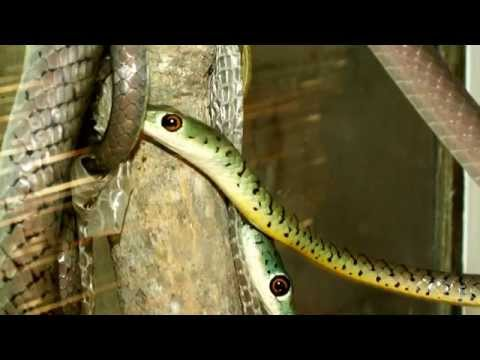 Boomslang Snake Facts: 19 Facts About The A Boomslang Snake