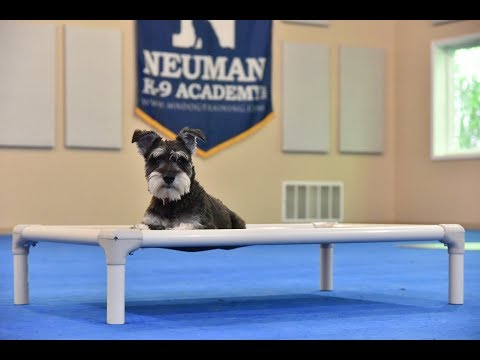 Charlie (Miniature Schnauzer) Boot Camp Dog Training Video Demonstration
