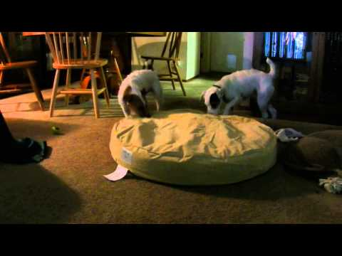 jack-russell-terriers-testing-orvis-tough-chew-dog-bed
