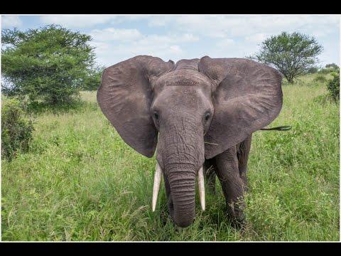 African Elephants having Fun   RobsWildlife