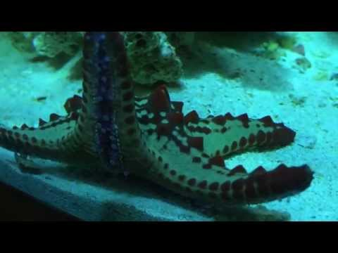 Red Knobby Starfish