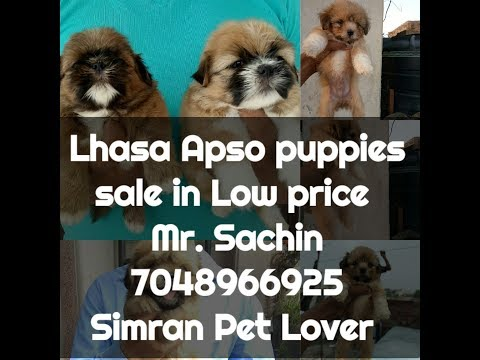 Lhasa apso puppies sale in Low price || 7048966925 || simran pet lover