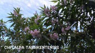 Chitalpa tashkentensis. Garden Center online Costa Brava - Girona.(Chitalpa tashkentensis. Garden Center online Costa Brava - Girona. Web: http://personalgardenshopper.es/, 2014-08-22T11:49:23.000Z)