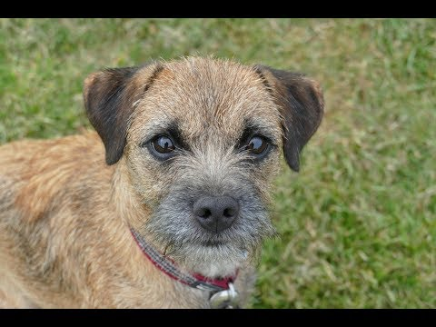 Pip - 18 Month Old Border Terrier - 3 Weeks Residential Dog Training