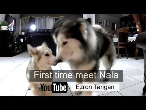 Pertama kali nya Spike ketemu Nala - Ezron Tarigan & Humble Spiker #DailyVlog #5