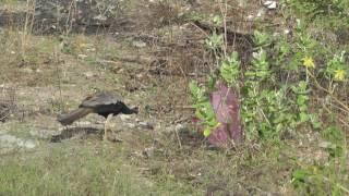 Павлин и другие птички из окна номера Pigeon Island Beach Resort 3*