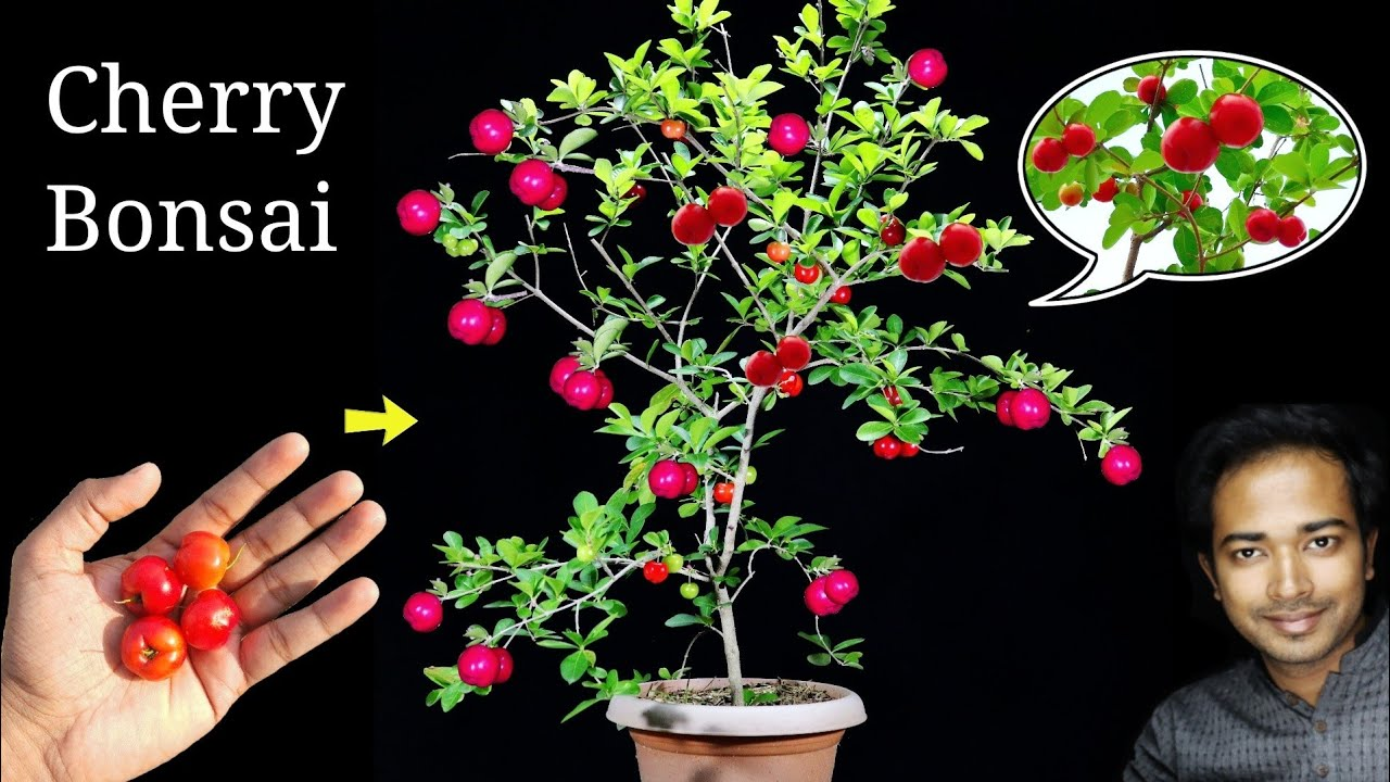 How to Easily grow Cherry tree at home | Easiest bonsai for beginners