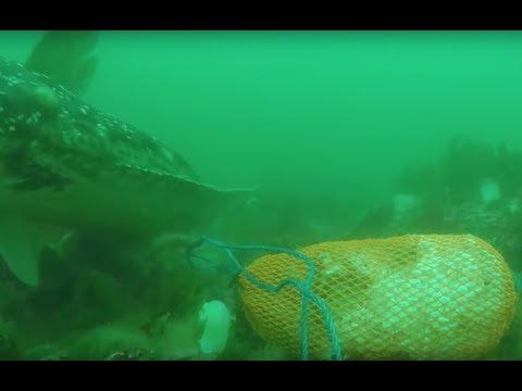 Huge Halibut Bites Chum Bag! Underwater Footage While Fishing Halibut In Alaska