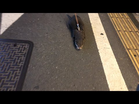 【カワウソ ライブ】深夜の阿佐ヶ谷商店街をビンゴと散歩(Otter Bingo in Commercial Street pt.2)