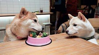柴犬超級可愛但不好養,台北一家寵物友善餐廳,因為店狗是柴犬,無心插...