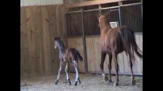 Friesian Georgian Grande colt born April 10 2013 For SALE