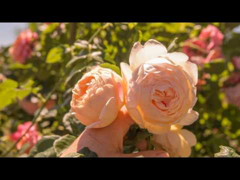 4K Relaxing Piano with Roses from Botanical Garden of Kiev, Ukraine