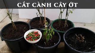 Cắt cành cây ớt khi nào - toan trinh garden