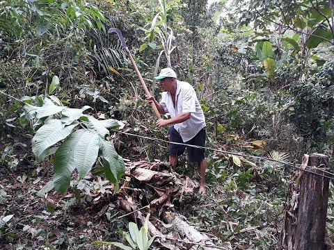 Notícias Amazônicos - Onça Rajadas Engoliu Homem e Vômitos nas Abelhas, Amazônicos, Brasil