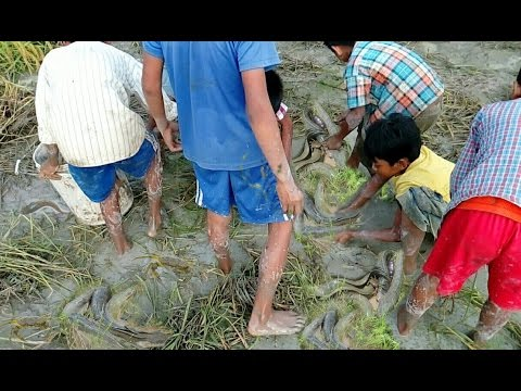 Amazing catch fish many people catch fish in the rice for People catching fish