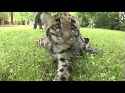 Thumbnail for Cat Video Update - Newborn Clouded Leopard Cubs - 2 month old