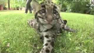 Update - Newborn Clouded Leopard Cubs - 2 month old thumbnail