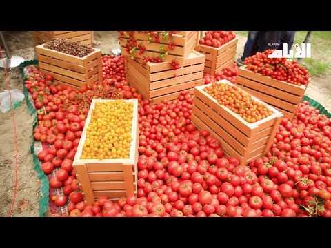 في مهرجان الطماطم الكيلو ب100 فلس  - نشر قبل 3 ساعة