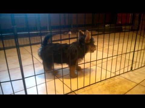 Norwich Terrier puppies puppy FEMALE 2 - D.O.B 20.11.2016. 10 weeks