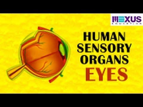 Human Sensory Organs - Eyes