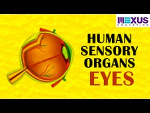 are eyes organs
