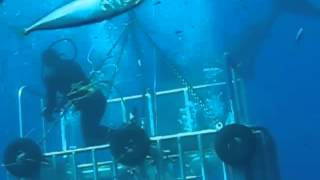 Worlds Largest Great White Shark Caught on Tape