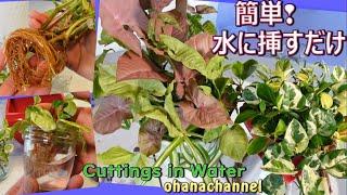 簡単‼水に挿すだけで発根🌱全部挿し芽で寄せ植え🍃Propagate Houseplants Cuttings in water❕