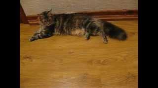 Мейн кун Амазонка, кошка, 6 месяцев