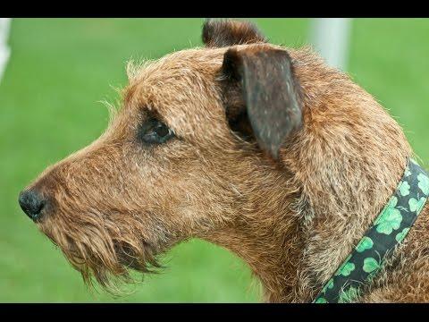 Irish Terrier (Terrier Irlandés) / Dog Breed