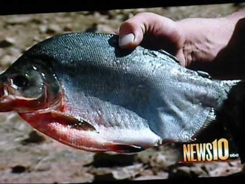 Don pedro lake piranha youtube for Lake don pedro fishing report