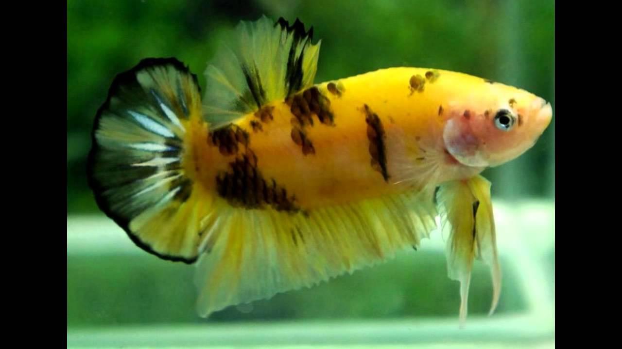 Excellent quality of yellow tiger koi betta aquarium fish ...