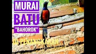 Video Ternak Murai Medan Bahorok download MP3, 3GP, MP4, WEBM, AVI, FLV Maret 2018